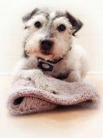 pies z założoną obrożą