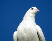 biały gołąb